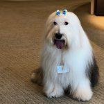 超モフモフの「名物社員犬」 癒しだけじゃない社内ペットの効果